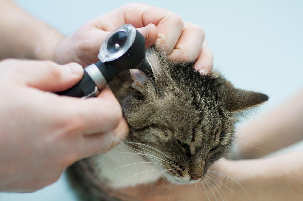 Ушной клещ у кошек это