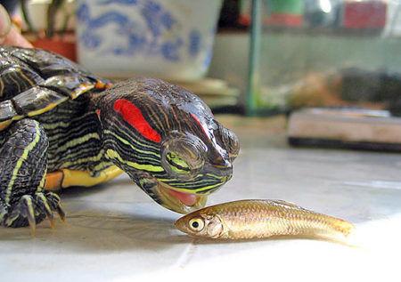 Содержание водных черепах режим кормления рацион